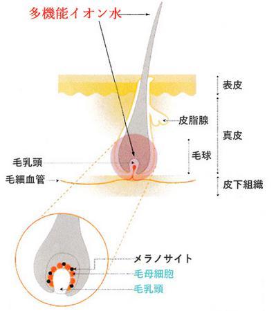 毛母細胞 毛乳頭